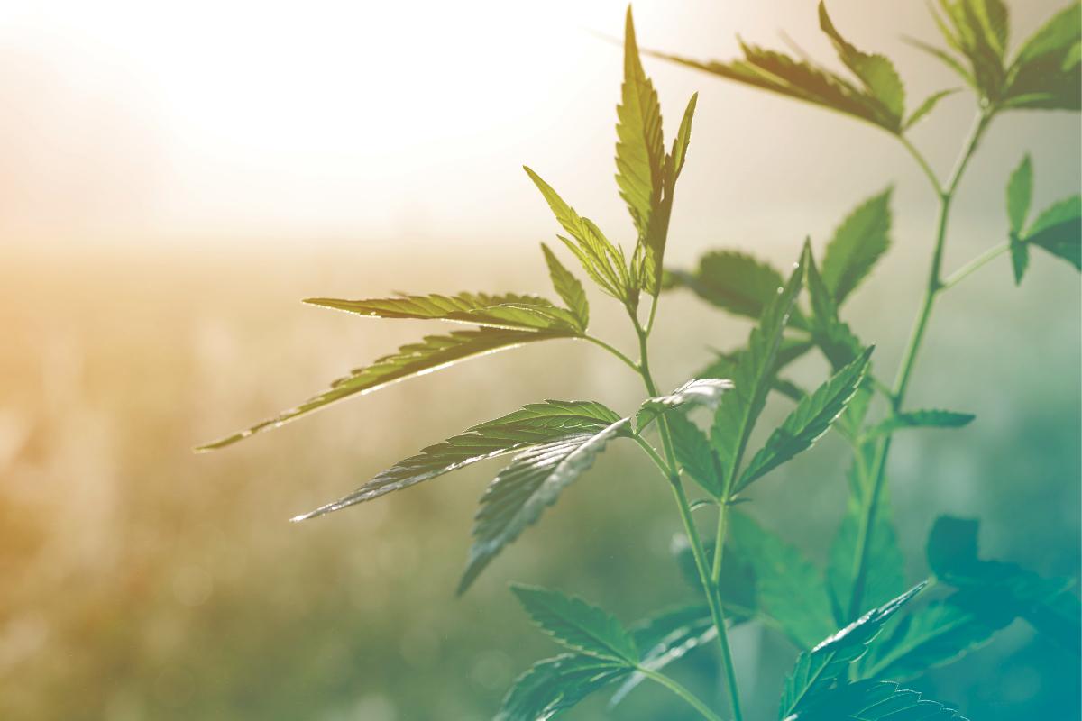 美国大麻种植面积增加了两倍多
