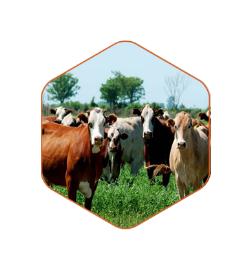 美国牛和猪医药保健原料
