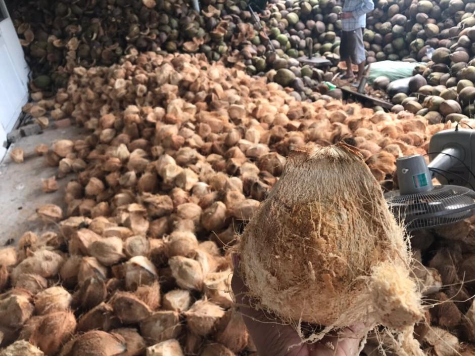 越南的老椰子