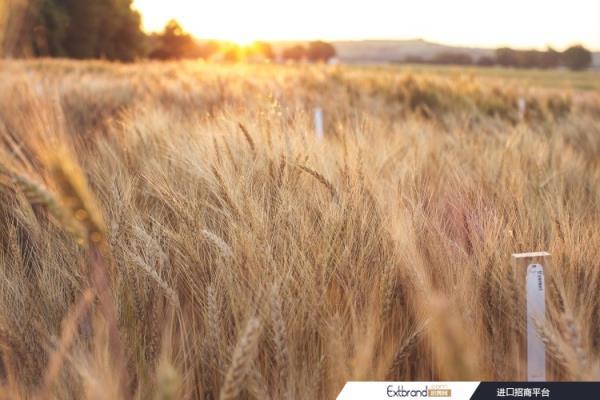 全球粮食安全的另一个推动因素是新型小麦品种