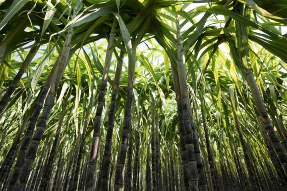 糖:下一个将因其对气候的影响而受到抨击的成分?