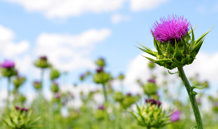 The South Korean authorities have proposed new precautio<em></em>nary statements for the milk thistle plant. ? Getty Images